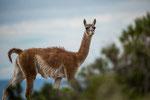 Ein Guanaco - der wilde Verwandte der Alpakas...