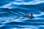 ....here a Galapagos Pinguin....