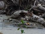 ...ein junger Weißkopfadler bei seinem Fischerfolg ....