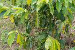 ....an seinem Steilhängen wird Kaffee angebaut....