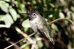 Costa´s Hummingbird (Kolibri)
