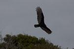 """Ein """"Turkey-Vulture"""""""