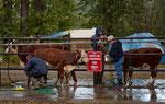 .....Waschanlage für Kühe....
