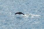 ...ein fliegender Seehund...