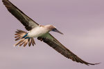 ....blue-footed boobies are excellent flyers.....