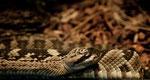 Western diamondback rattlesnake (Klapperschlange)