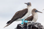 Blue-footed Booby.....