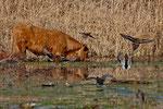 Neben Zugvögeln gab es auch Rinder....