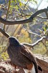 Hawk (Falke):