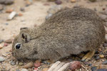 ...ein Cui - halb Hamster halb Maus...