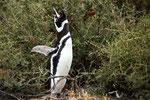 ...Pinguine können sehr lautstark sein - ähnelt dem Eselsgeschrei...
