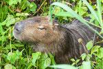 ...das Wasserschwein sucht Abkühlung...