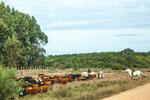 ...Rinder und Cowboys haben in Uruguay auf jeden Fall Vorfahrt...