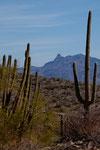 rechts Saguaro und links Organ Pipe Cactus