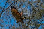 ...toll mit welcher Geschwindigkeit dieser große Vogel durch die Bäume rauscht...