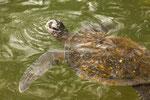 ....a sea turtle....