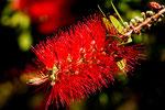 ...Blüten die wir in Europa nur als Topfpflanzen kennen...