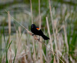 """Red winged black bird"""