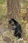 And again a black bear...