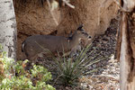 Deer (Reh) - Name unbekannt