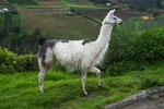 ....und auch die Lamas tragen zum Umsatz bei.