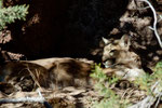 ... ein Mountain Lion (Puma)