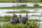 ...die Halsband-Wehrvögel leben bevorzugt in Kolonien...