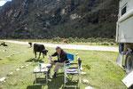....Rudi musste seinen Kaffee mit der Kuh teilen....