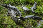 Brillenkaimane gehören zur Familie der Aligatoren...