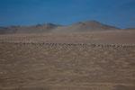 ...und die Möwen ruhen sich im Sand aus - alle in einer Reihe....
