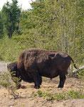 """ein """"alleinstehender"""" Bison Bulle"""