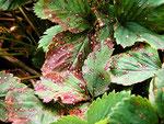 Ramularia tulasnei verursacht die Weißfleckenkrankheit der Erdbeeren