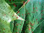 Septoria aceris auf Blättern des Ahorns