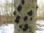 Biscogniauxia nummularia - Münzenförmige Kohlenbeere.Auf geschädigten Stämmen von Rotbuche gefunden,selten.