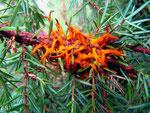Gymnosporangium sabinae III - Stadium des Birnen-Gitterrostes im Frühjahr auf Juniperus sabinae (Sadebaum).Wirtswechsel zu Pyrus (Birne).