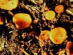 Cheilymenia stercoria - Sternhaariger Mistborstling.Kleine und relativ seltene Art.Gefunden auf Rinderdung.