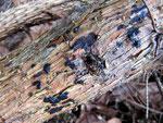 Exidia pithya - Teerflecken-Drüsling.Auf Fichtenholz,ganzjährig,in meiner Gegend häufig.