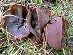 Peziza badia - Kastanienbrauner Becherling.Der wohl am meisten verbreitete Großbecherling.An feuchten Standorten in Laub-und Nadelwald,relativ häufig.