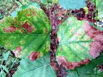 Phyllosticta epignomonia verursacht die helleren und größeren braunen Flecken auf Birkenblättern (vgl. Discula betulina)