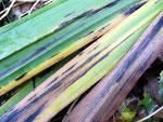 Asteroma pseudacori auf Iris pseudacorus (Sumpfschwertlilie)