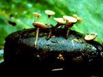 Hymenoscyphus fructigenus - Eichel-Becherchen.Vor allem auf oder zwischen sich zersetzenden Eicheln,ortshäufig.Auch bei anderen Fruchtschalen beschrieben.