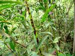 Marssonina-Krankheit der Weide,verursacht durch Marssonina salicicola.Blätter und junge Triebe werden schwarz und sterben ab.