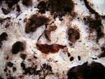 Physisporinus sanguinolentus - Rotfleckender Porling.Ziemlich selten,gefunden auf dem Erdboden in einem Buchenwald.