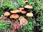 Xeromphalina campanella - Geselliger Glöckchennabeling.Auf morschem Fichtenholz.Im Gebirge häufiger,in tieferen Lagen selten.Schon ab Frühjahr.