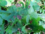 Colletotrichum trifolii zusammen mit Ramularia trifolii auf Trifolium pratense (Rot-Klee)