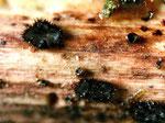 Pseudolachnea hispidula.Relativ selten im Frühjahr auf abgestorbenen Kräutern,besonders Brennnessel (im Foto).
