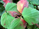 Zythia fragariae - Imperfekter Schadpilz auf Erdbeeren,häufig.