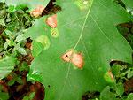 Phyllosticta quercus auf Blättern von Quercus (Eiche)