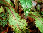 Asochyta sonchifolia auf Sonchus asper (Gänsedistel,Milchdistel)