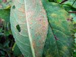 Coleosporium senecoides - Rostpilz auf Senecio fuchsii (Fuchs-Greiskraut)